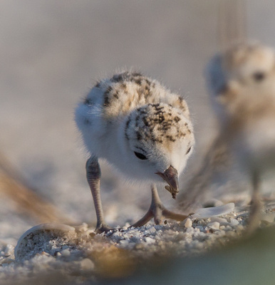 Snowy Plover chick eating insect