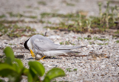 Least tern turns egg