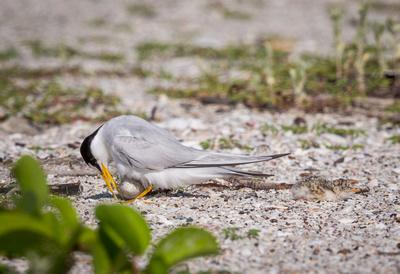 Least tern turns egg