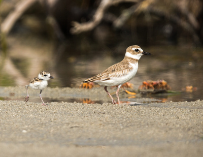 Wilson plover with chick