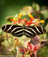 Swallowtail Butterfly, Florida