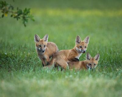 Three fox kits
