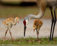 Sandhill crane with colts