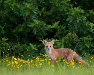 Red Fox Vixen in wildflowers