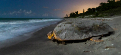 A_loggerhead _lit by the moon_returns_to_the_sea_after_nesting