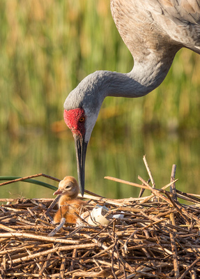 5Crane leading chick to pond