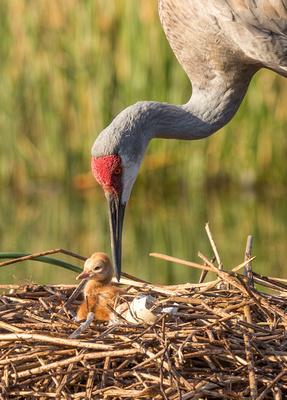 5Crane leading chick to pond