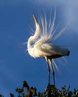 Egret Mating Dance