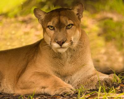 Florida_Panther_Resting, captive