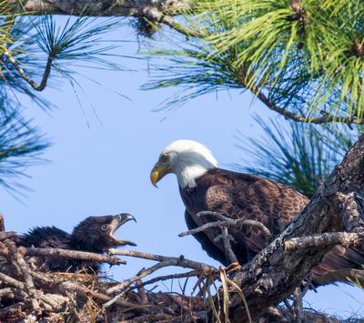 Eaglet begs for food