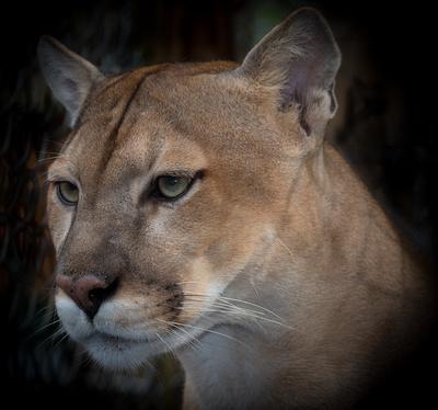 panther (captive)