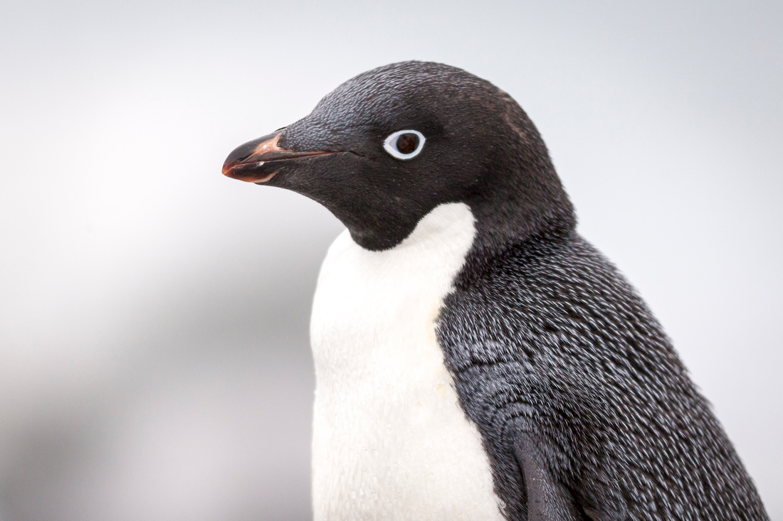 1closeup Adelie penguin