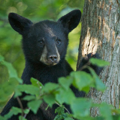 Bear Cubs are shy