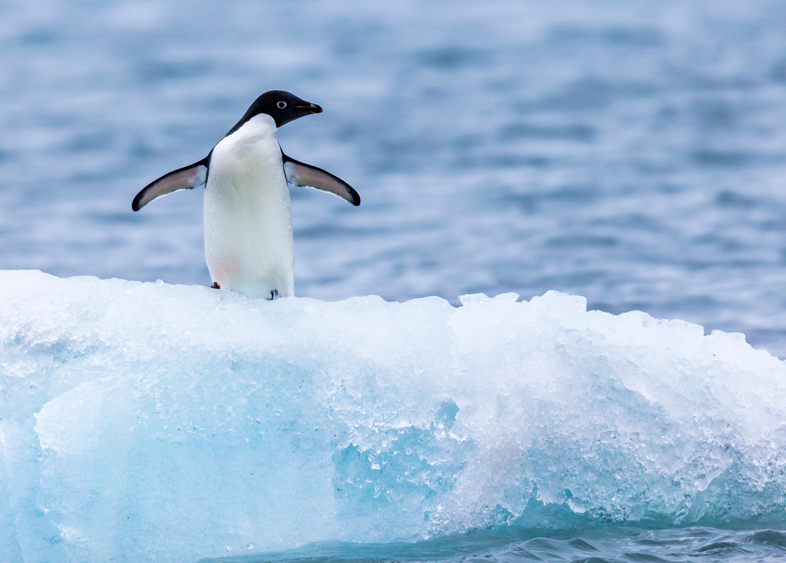 2Adelie penguin on iceberg