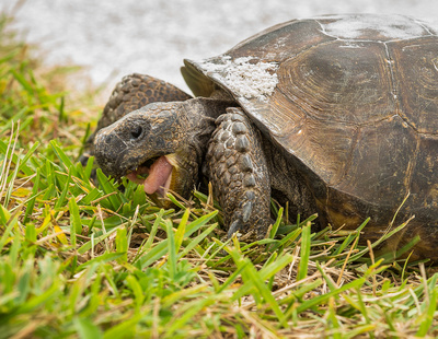 Close up of gopher Tortoise munching grass