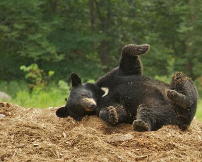 Bear rolls in cedar _W5C3917