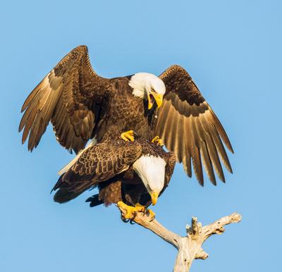 Eagles Mating