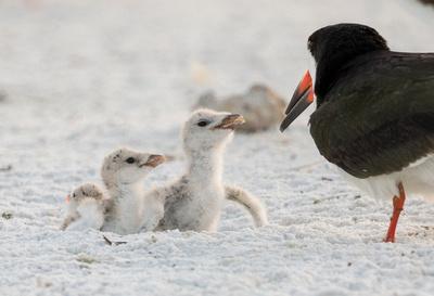 5.Three Chicks_standing_in_scraped_nest