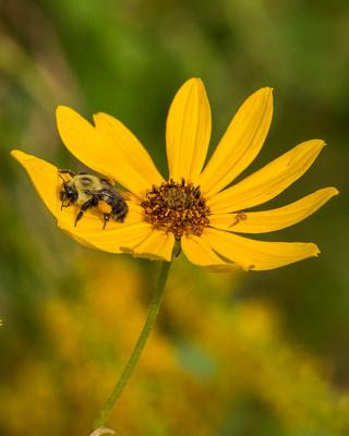 Pollen_heavy_bee_with_spider_friend_on_wildflower