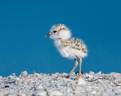 3.Snowy Plover chick at wrack line