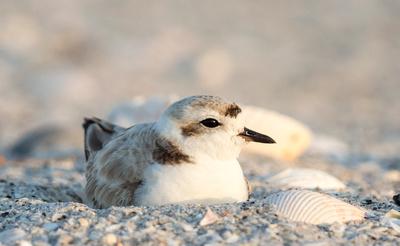 1.Snowy plover nesting