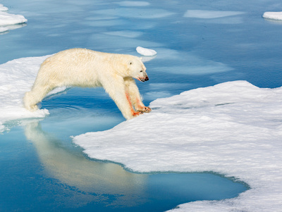 3.Bear jumping ice floe