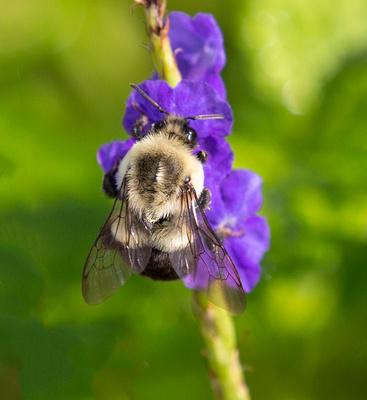 Bumble_Bee_on_Porterweed