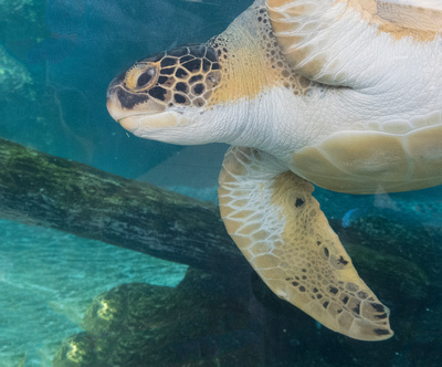 A rescued green turtle at Mote