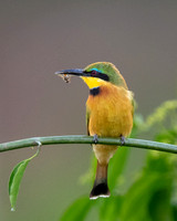 Little_Bee_Eater_with_bee