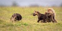 Spotted_hyena_family
