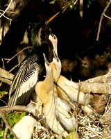 Anhinga Chicks waiting to eat