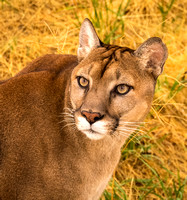 California Cougar (captive)