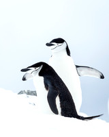 5.Chinstrap penguins' mating dance