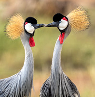 African_Grey_Crowned_Crane_Mating_Display