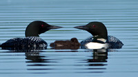 Common Loons with Baby