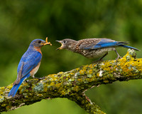 Bluebird feeding young