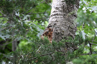 Red Squirrel in Nest, St. Croix River, WI