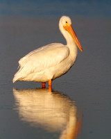 White Pelican Pose, Ding Darling
