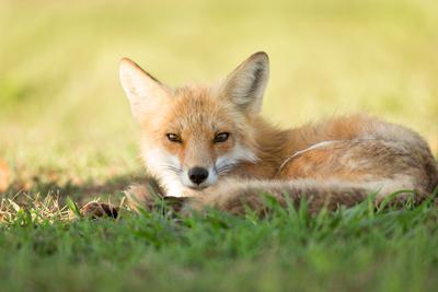 Father Fox Guarding the Den