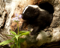 Baby Skunk Smelling Wildflower,Sandstone, MN