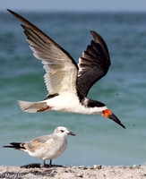 Black Skimmer and seagull 8967-Edit