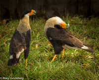 Caracara Mating Dance