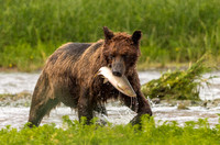Brown bear in rain with salmon, Pack Creek, Alaska