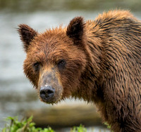 Brown Bear Stare, Pack Creek, Alaska