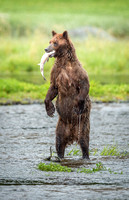 Upright brown bear with salmon