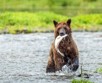 Brown bear success
