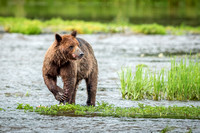 Bear eating Salmon at Pack Creek