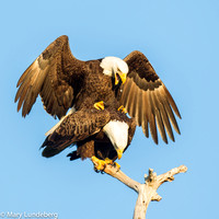 Eagles Mating, Sarasota, Florida