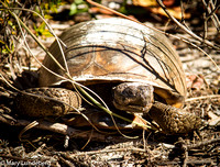 Gopher Tortoise with Sandy Shell