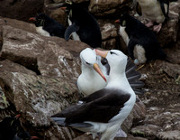 Black-browed albatross grooming mate
